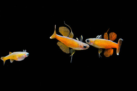 Males and female of very popular, new discovered fish Pseudomugil pascai neon red on a black background  Stock Photo
