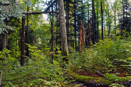 optimal: Beech-fir forest reserve