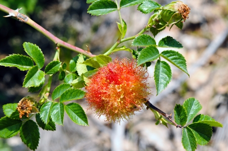 Rose bedeguar gall on a dog rose  Rosa canina