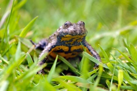 anura: Sapo de vientre amarillo Bombina variegata