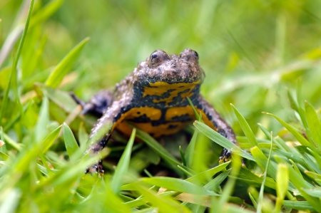 bellied: Yellow-bellied toad  Bombina variegata  Stock Photo