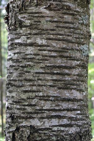 Bark of wild cherry  Prunus avium    Stock Photo