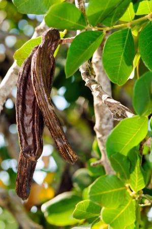 Carob pods of carob tree  Ceratonia siliqua