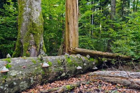 Typical beech-fir forest reserve  Rajhenav, Slovenia, EU