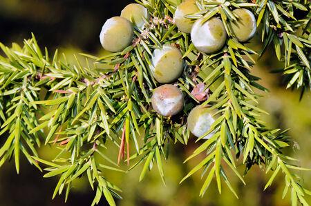 Foliage and berries of common juniper  Juniperus communis
