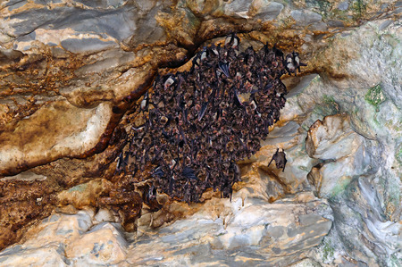 Large colony of greater mouse-eared bats (Myotis myotis) roosting in cave.