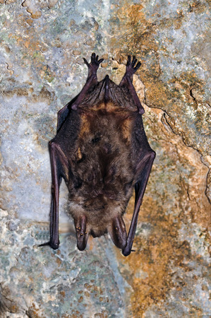 The greater mouse-eared bat (Myotis myotis) photo