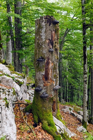Large fir snag