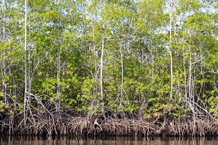 Mangroves 版權商用圖片 - 36425203