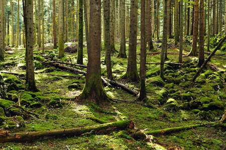 forest management: Fir forest reserve Stock Photo