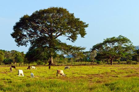 clima tropical: La ganadería extensiva en el clima tropical
