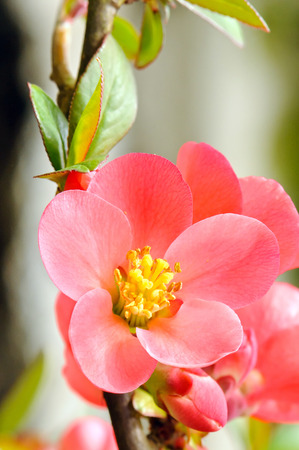 Flowering quince (Chaenomeles speciose) in blooming. Stock Photo