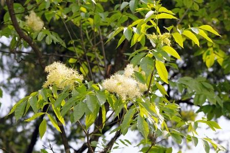 葉と共通の灰 (セイヨウトネリコ) の花。