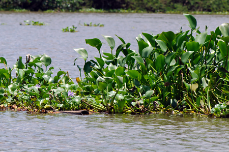 Common water hyacinth (Eichhornia crassipes) is invading Sierpe River in Costa Rica.