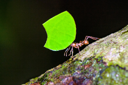 Leafcutter ant (Atta cephalotes) worker is carrying leaf segment. Stock Photo