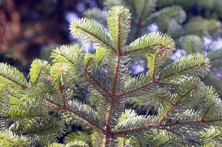 Close up of a branch of a Greek fir (Abies cephalonica). Stock Photo