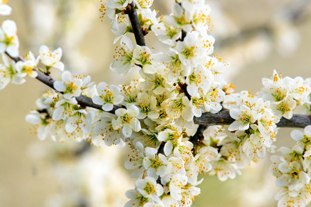 Blackthorn (Prunus spinose) branch in flower shot in early spring. Stock Photo