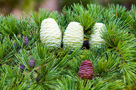 Foliage and cones (small brown male, female brown mature and immature) of Himalayan cedar (Cedrus deodara). Stock Photo