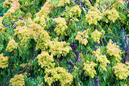 Foliage and seeds of tree of heaven  ailanthus (Ailanthus altissima) on a female tree. Stock Photo
