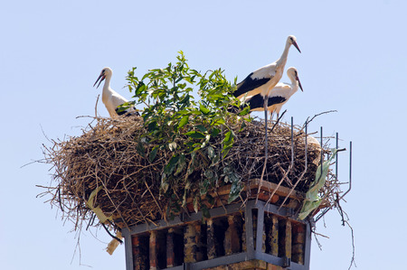 White storks (Ciconia ciconia) in the nest
