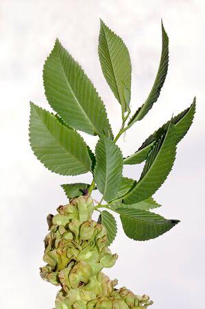 European White Elm (Ulmus laevis)