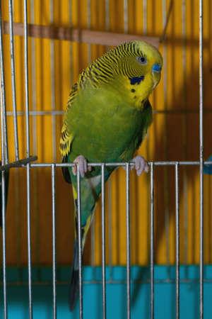 undulatus: Budgerigar Melopsittacus Undulatus at cage door