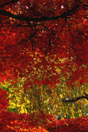botanica: Colorful Autumn Leaves in Japanese Garden Stock Photo