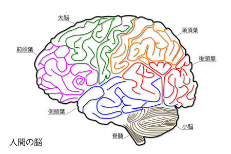 The human brain structure in Japanese photo