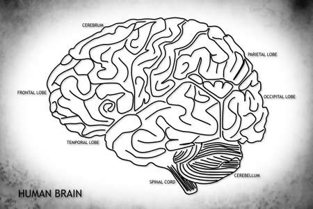 The human brain structure Standard-Bild