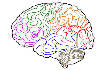 frontal lobe: The human brain structure Stock Photo