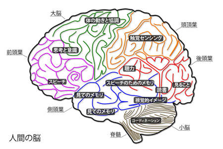 The human brain structure in Japanese Stock Photo - 15946263