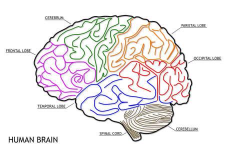 The human brain structure Banque d'images