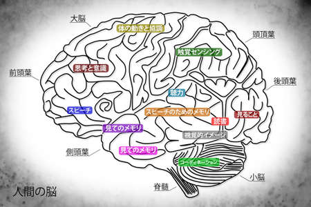 occipital: The human brain structure Stock Photo