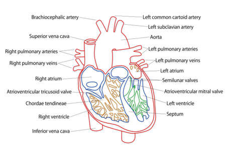 Human Heart structure Stock Photo - 15946320