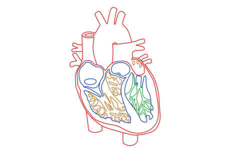 right ventricle: Human Heart structure