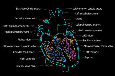 carotid: Human Heart structure