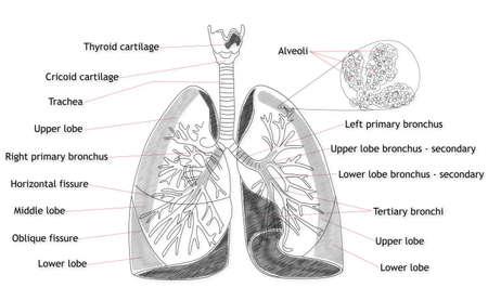 alveolos: Estructura Pulm�n humano