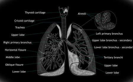 pulmonology: Human Lung structure
