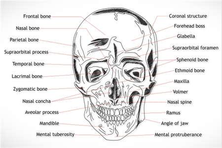 meatus: Human Skull structure