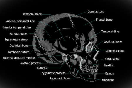 coronal: Human Skull structure