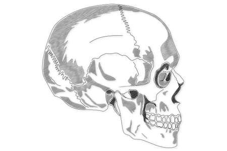 lacrimal: Human Skull structure