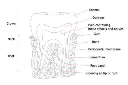 root canal: Human Tooth structure
