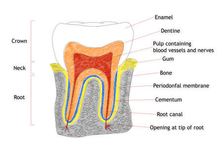 dental pulp: Human Tooth structure