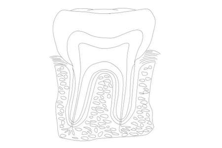 cementum: Human Tooth structure