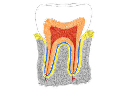 periodontal: Human Tooth structure