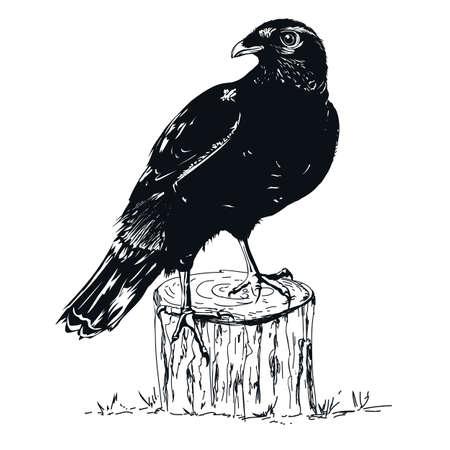Black Raven illustrator