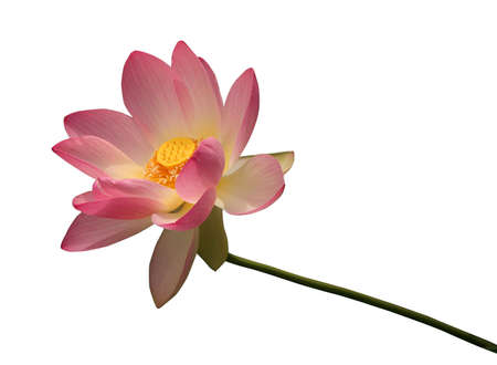 lily flower: Isolated lotus with clipping path