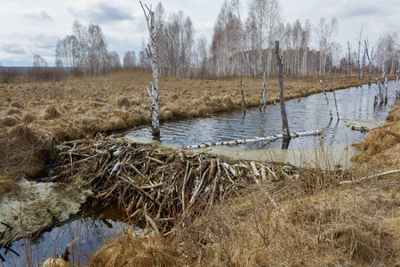 beaver dam in early spring Stock Photo
