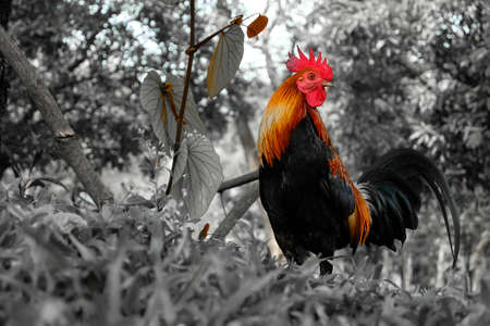 cockrel: Chiken in the forest