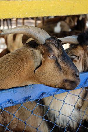 enano: cabra enana marr�n Foto de archivo